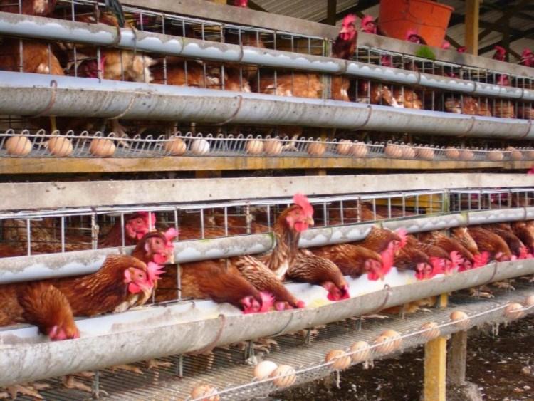 sumber : pelatihanayamkampung.blogspot.com