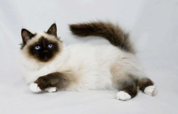 gambar-kucing-persia-himalaya