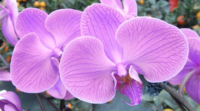 070878600_1484460635-hk_cwb_victoria_park_chinese_new_year_flower_fair_f07_purple