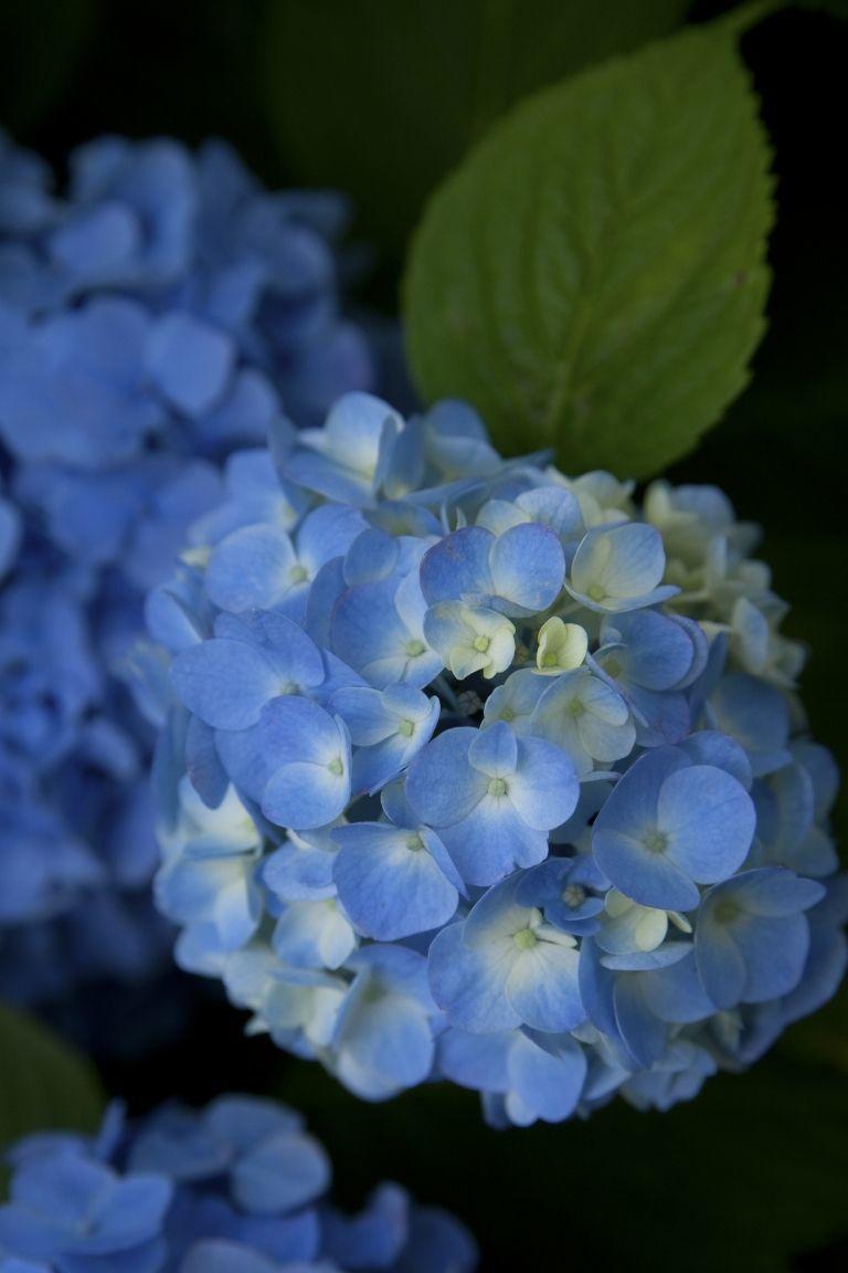 bunga hydrangea biru yang punya sedikit warna putih di sekitarnya