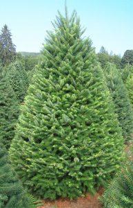 8 Jenis Pohon Natal Asli Yang Bisa Dijadikan Dekorasi Natal